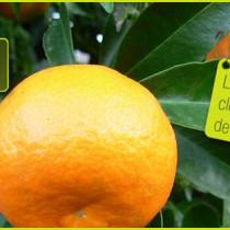 Clementine-corse
